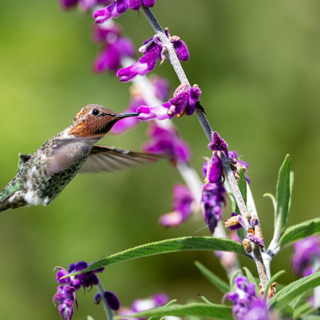 """Anna's Hummingbird in Flight with Purple Flowers"" stock image"