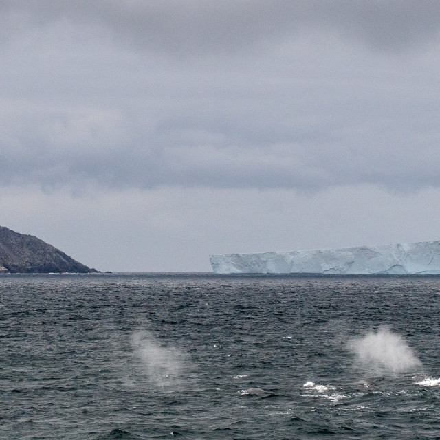 """""""Fin Whales in front of a tabular iceberg"""" stock image"""