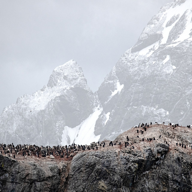 """""""Chinstrap penguins at Elephant Island"""" stock image"""