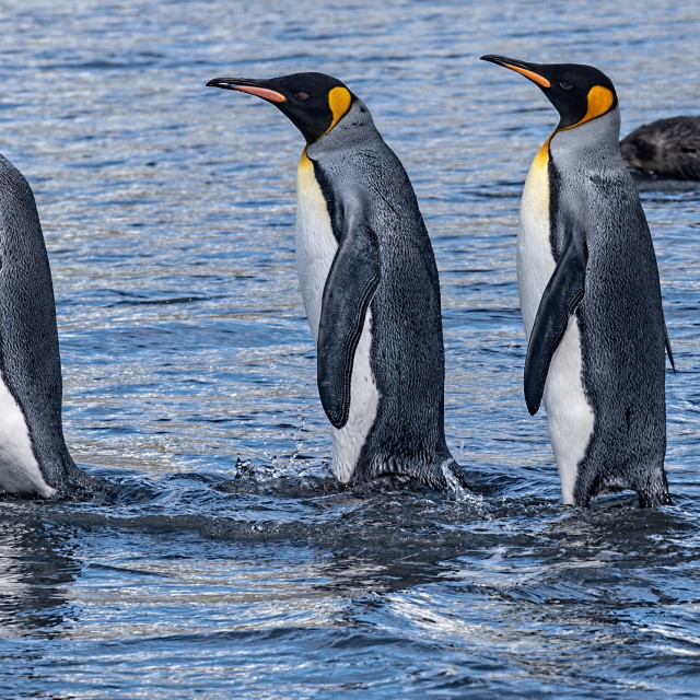 """""""King Penguins entering the sea"""" stock image"""