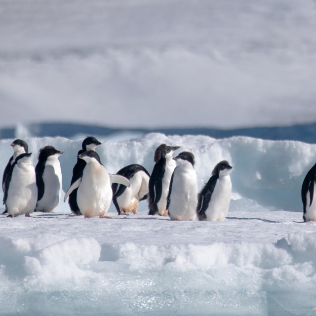 """""""Adelie penguins lined up on a growler"""" stock image"""