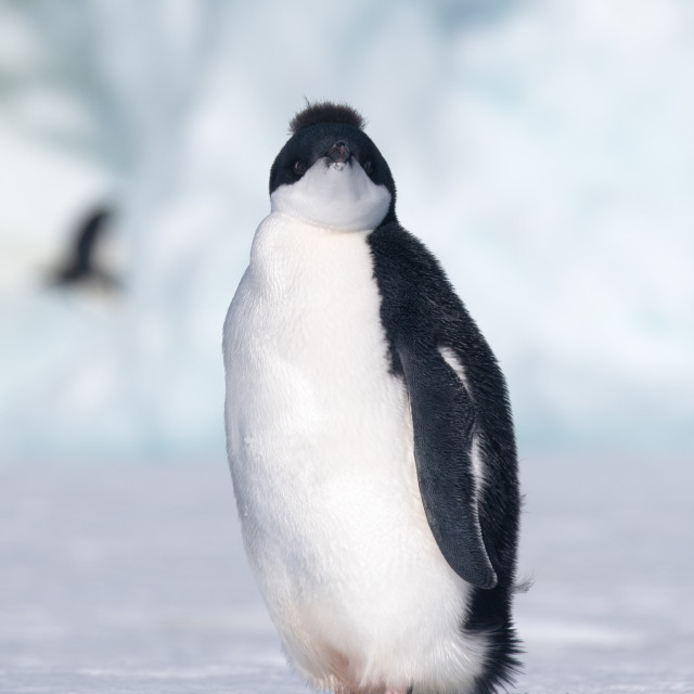 """""""Young Adelie Penguin"""" stock image"""