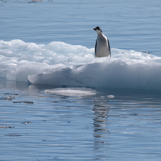 """Adelie penguin on growler"" stock image"