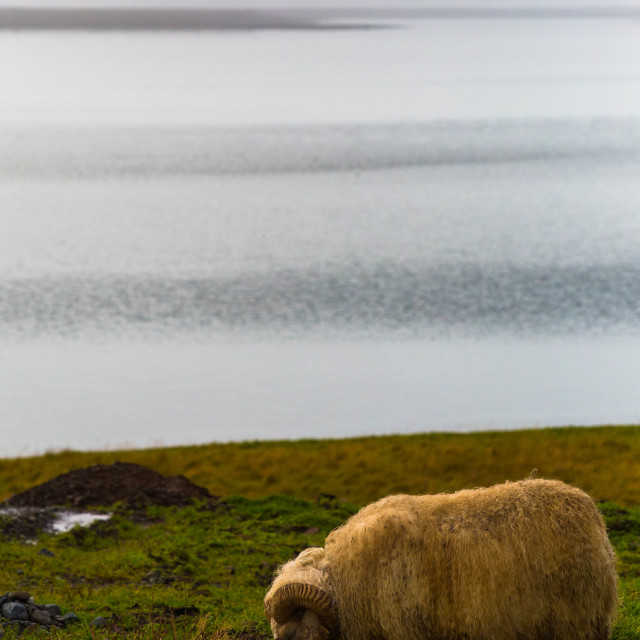 """""""Icelandic Horned Sheep by the Sea"""" stock image"""