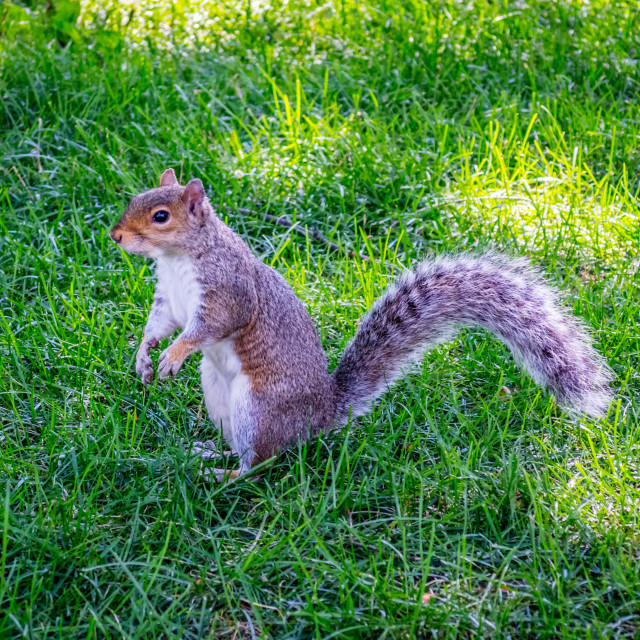 """A Fox Squirrel in Albany, New York"" stock image"