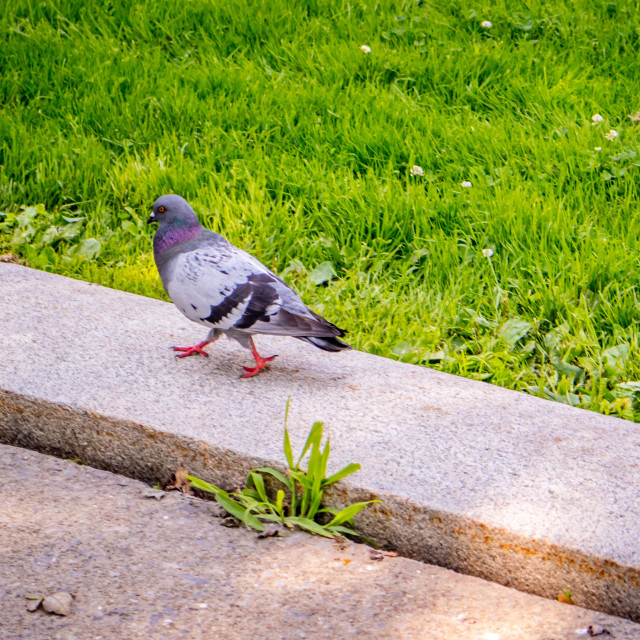 """A Rock Dove in Albany, New York"" stock image"