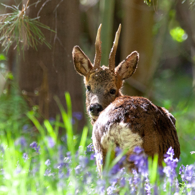 """deer in bluebells"" stock image"