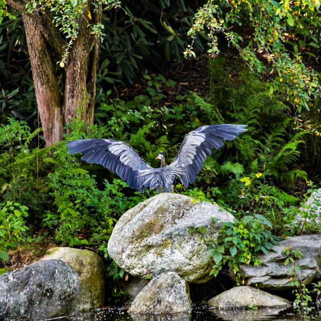 """""""Great Blue Heron with Wings Spread"""" stock image"""