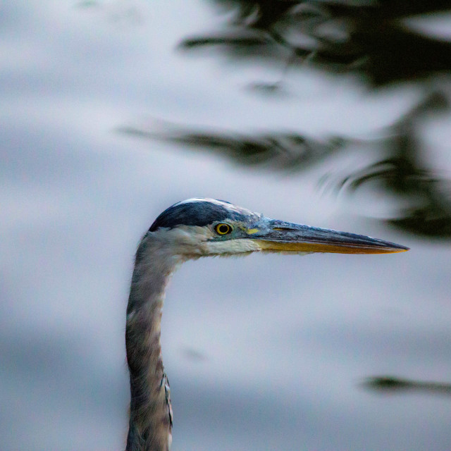 """Great Blue Heron Face Side Profile"" stock image"