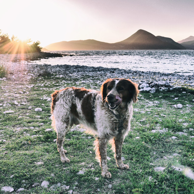 """""""Sunset with a Brittany Spaniel"""" stock image"""