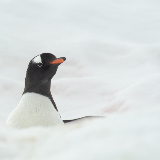 """""""Gentoo Penguin poking out of the snow"""" stock image"""