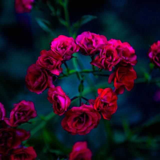 """Circle of Roses"" stock image"