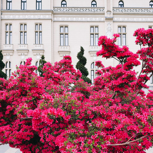 """Pink Flowers Of Iasi Palace Garden"" stock image"