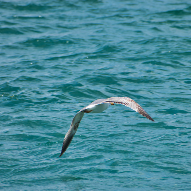 """""""Seagull flying over the sea"""" stock image"""