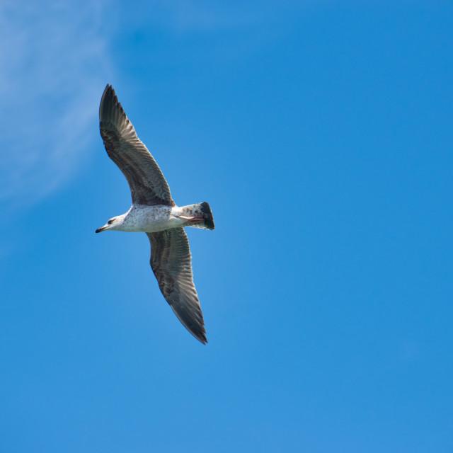 """Seagull flying over blue sky"" stock image"