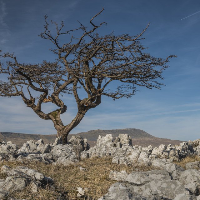 """""""Somerscales Tree"""" stock image"""