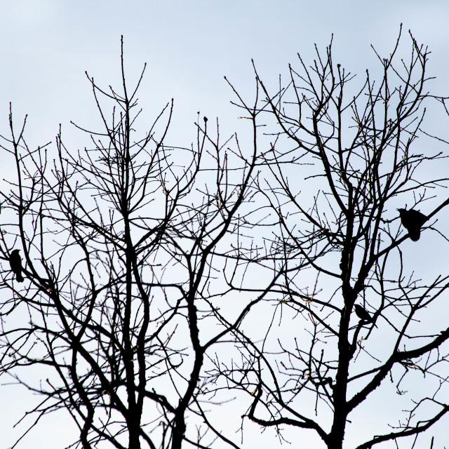 """Three Red Winged Blackbirds in a Tree"" stock image"