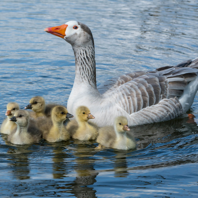 """Mother Goose"" stock image"