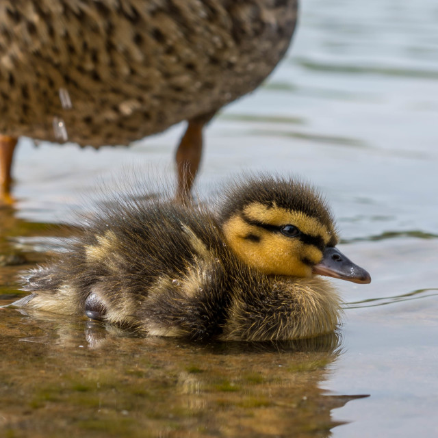 """""""Duckling"""" stock image"""