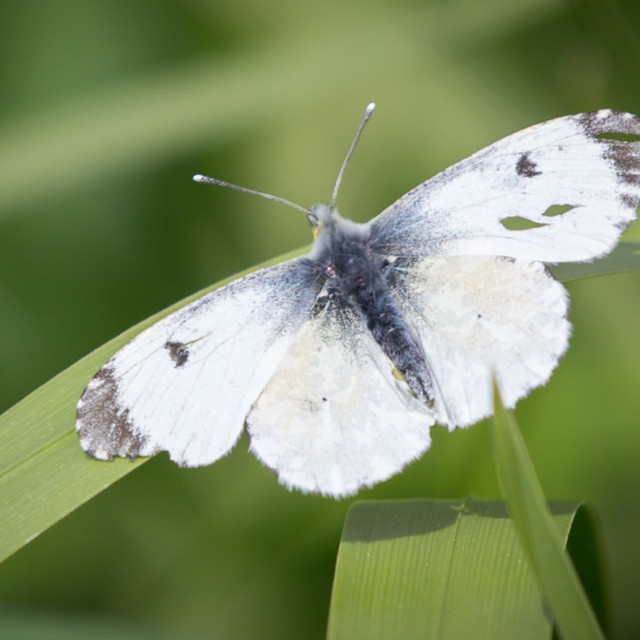 """""""A Female Orange Tip Butterfly"""" stock image"""