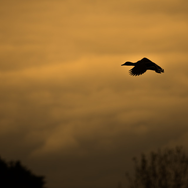 """""""Duck silhouette"""" stock image"""