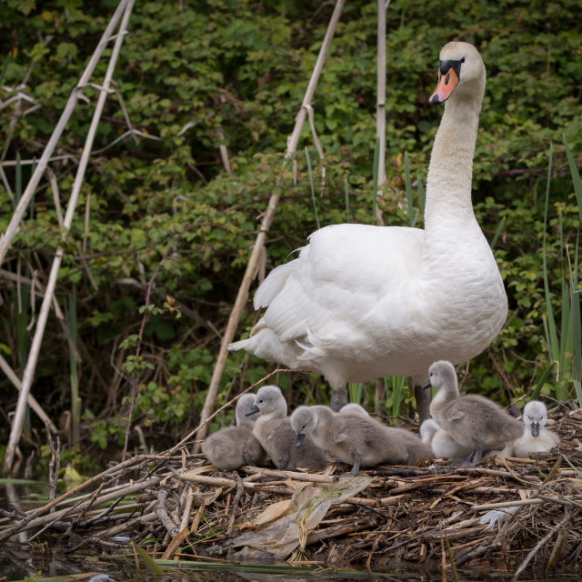 """""""Mother Mute Swan and eight Cygnets"""" stock image"""
