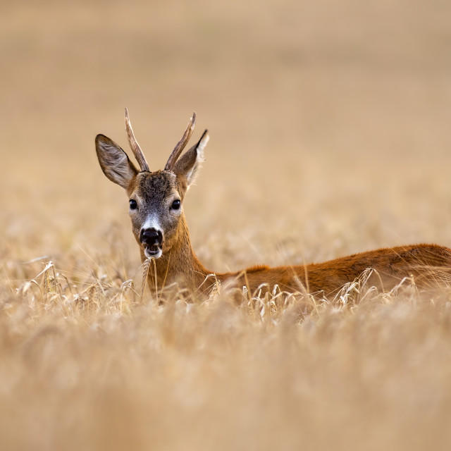 """Roe deer buck standing out in high grain field in summer chewing."" stock image"