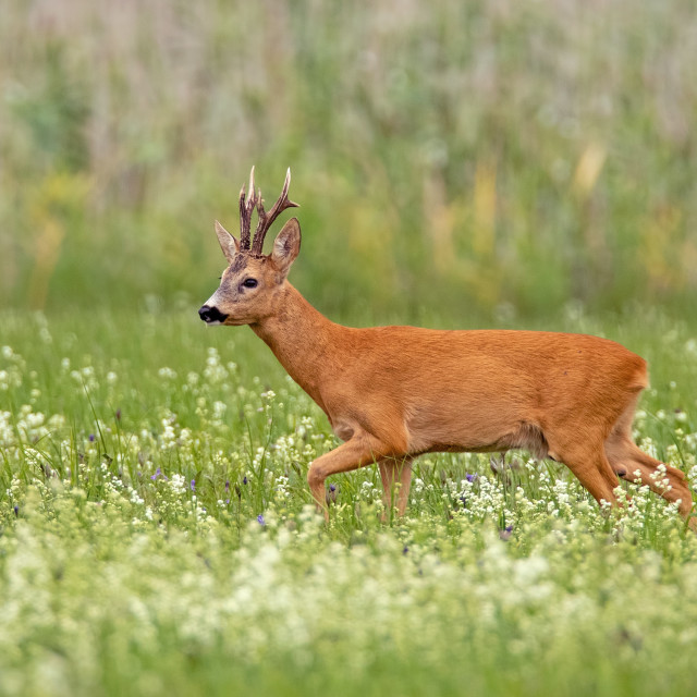 """Roe deer buck with dark antlers walking on a meadow with wildflowers in summer"" stock image"