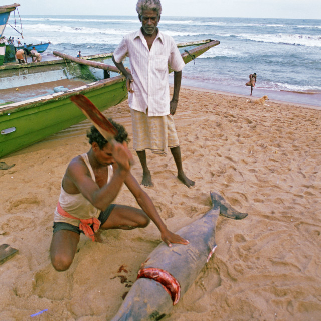 """Fisherman cutting a dolphin ( India)"" stock image"