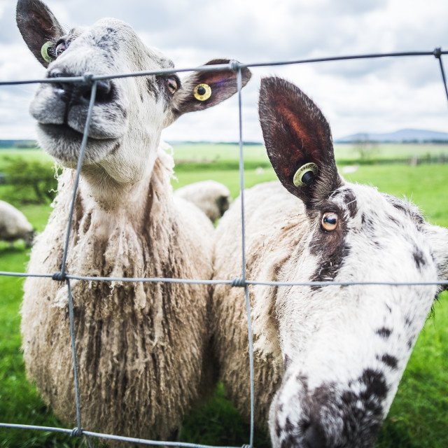 """Two Sheep"" stock image"
