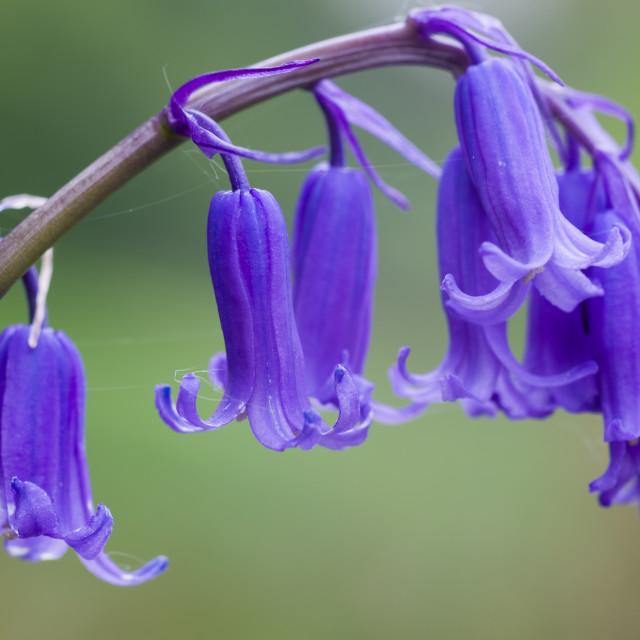 """""""Bluebell flower"""" stock image"""