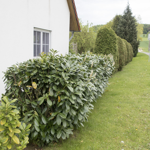 """""""garden with lawn, cherry laurel and thuja"""" stock image"""