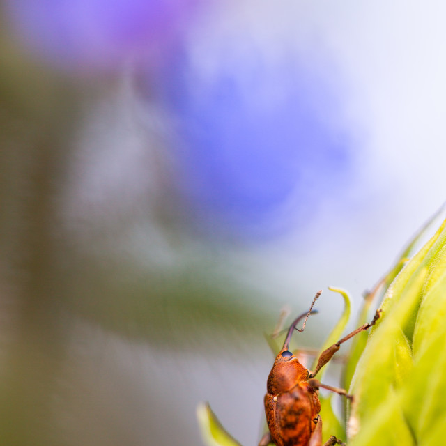 """Acorn Weevil with Blue Flower"" stock image"