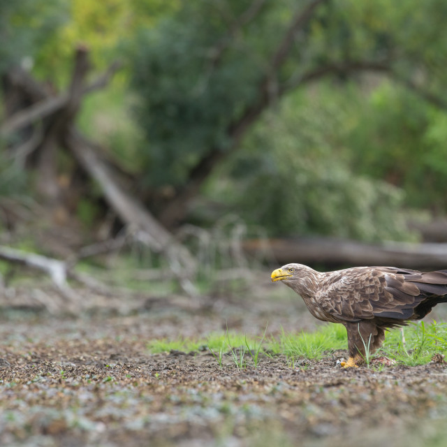 """Adult white-tailed eagle in natural environment feeding on a catched fish."" stock image"