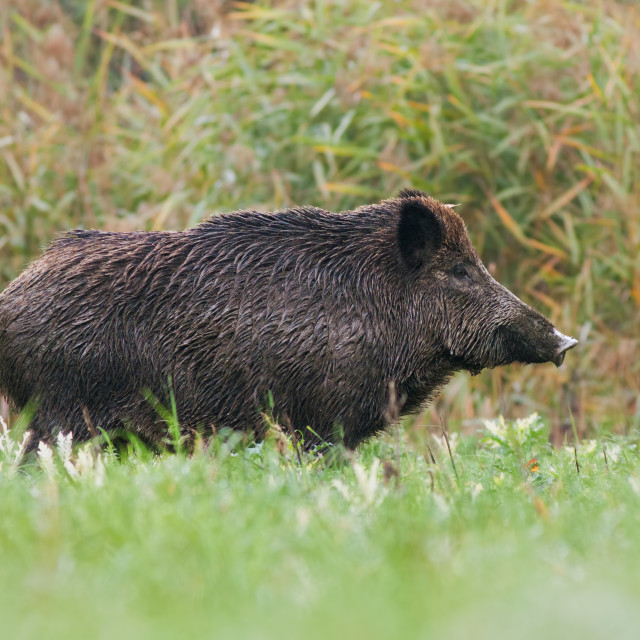 """Side view of adult wild boar standing on a meadow in green grass in summer"" stock image"