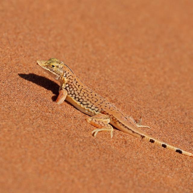 """Shovel-snouted lizard on sand"" stock image"