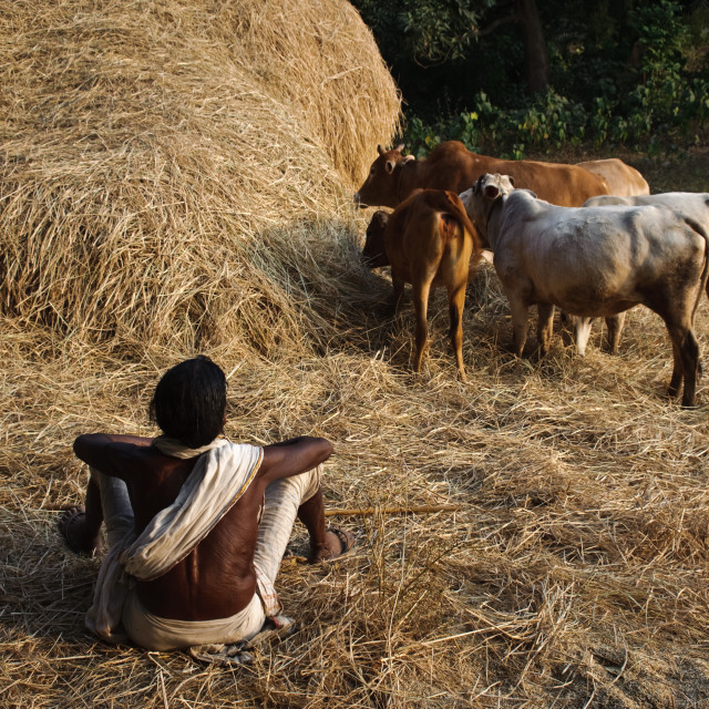 """Desia Khond woman monitoring the cattle ( India)"" stock image"