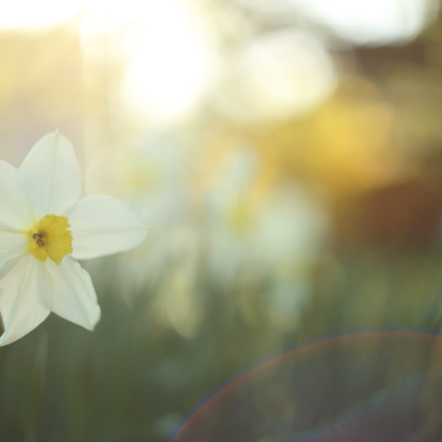"""Narcissus in the garden"" stock image"