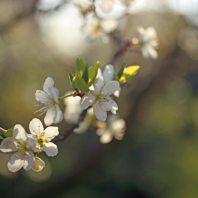 """White blossom in spring"" stock image"