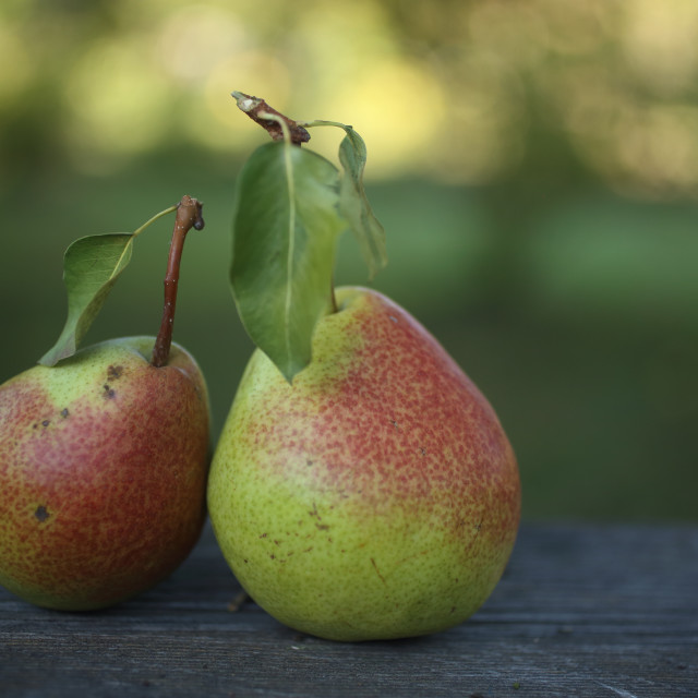 """Still life with pears"" stock image"