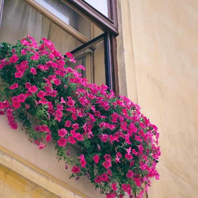 """Pink Flowers in Window"" stock image"