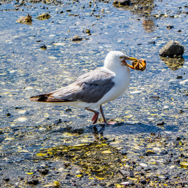 """A white and grey seagull in Bar Harbor, Maine"" stock image"