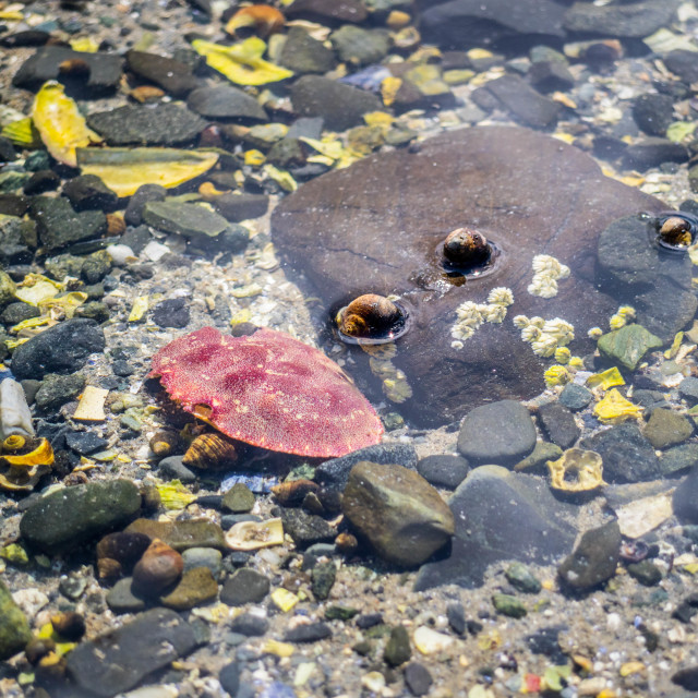 """Tide Pool creatures in Bar Harbor, Maine"" stock image"