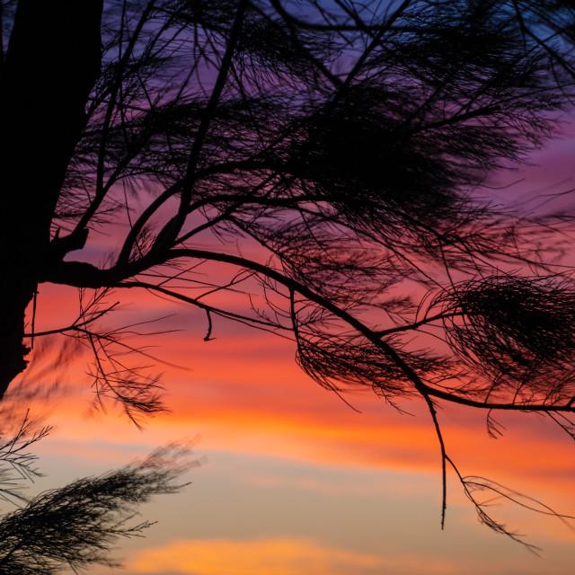 """Silhouette of coastal needle tree against orange sunset sky at Indian Ocean..."" stock image"