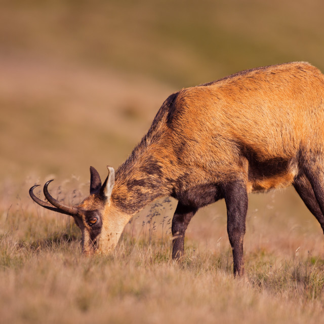 """Adult chamois, rupicapra rupicapra, feeding in last evening sun rays."" stock image"