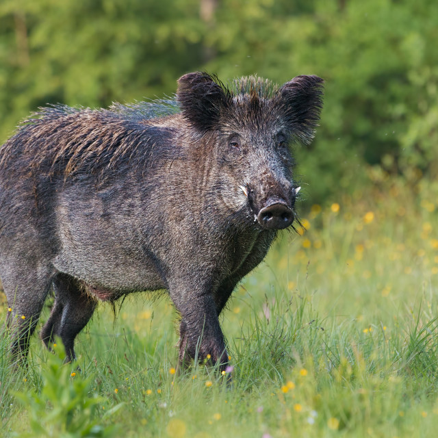 """Adult male wild boar, sus scrofa, in spring fresh grassland with flowers."" stock image"