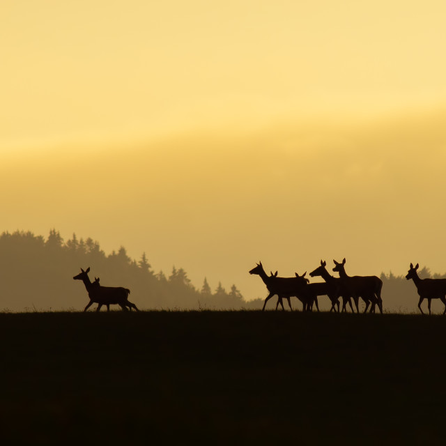"""Panoramic scenery of red deer herd walking on a horizon at sunrise."" stock image"