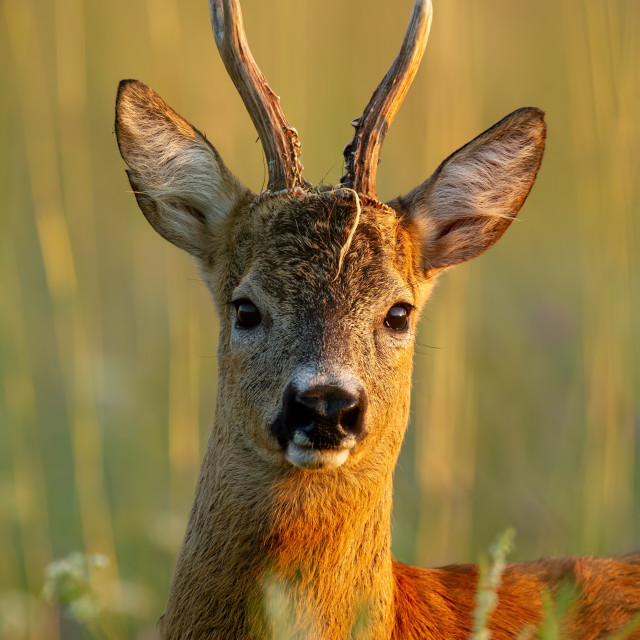 """Close-up of roe deer buck standing in last evening sun rays in summer"" stock image"