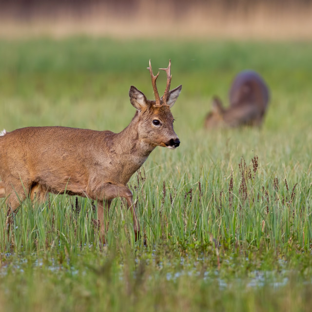 """Roe deer buck in winter coat in spring with doe grazing in background"" stock image"