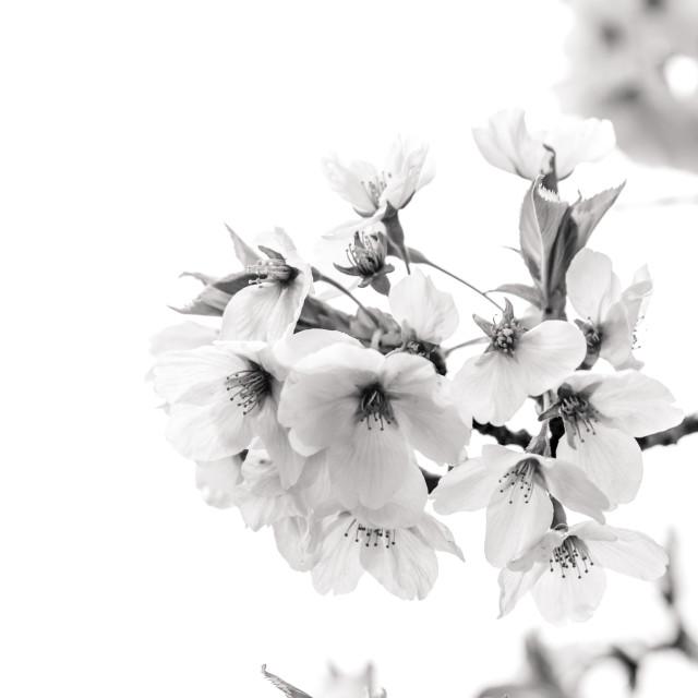 """sakura - hirosaki - Japan"" stock image"